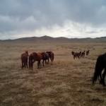 """Paarden lopen """"na gebruik"""" gewoon vrij rond in mongolie!"""