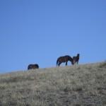 De wilde paarden